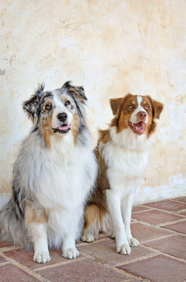 Os melhores amigos do homem, pares de pastores australianos fotografia de stock