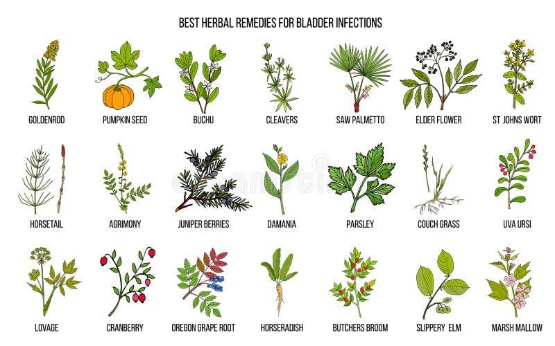 Os melhores remédios ervais para infecções da bexiga ilustração stock