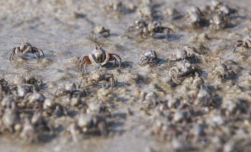 Os milhares de caranguejos minúsculos do bebedoiro automático da areia reunem-se da praia na água na ilha tropical Ko Lanta imagem de stock