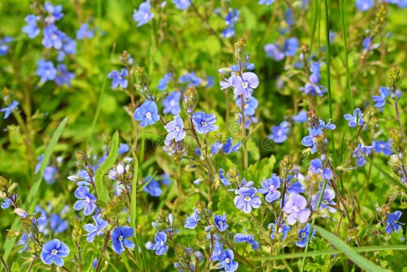 Os miosótis azuis bonitos floresceram foto de stock