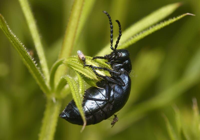 Os mosquitos mordem um besouro preto grande fotografia de stock royalty free