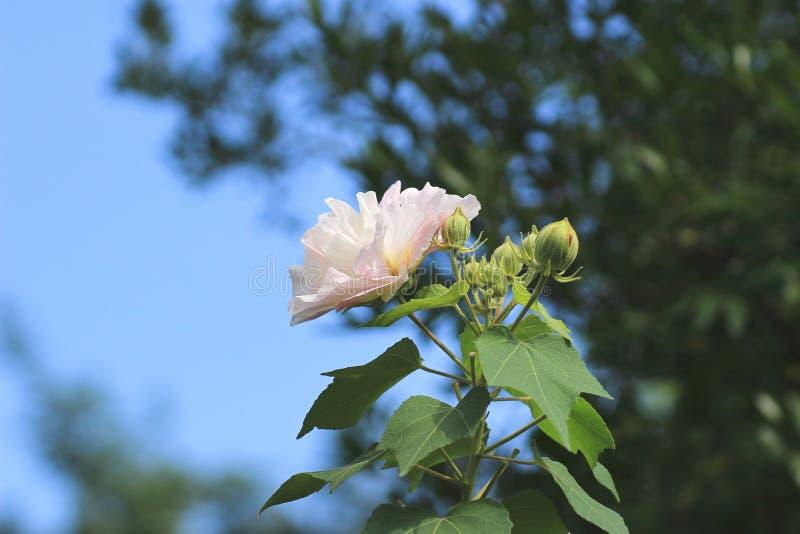 Os mutabilis ou o confederado do hibiscus aumentaram foto de stock