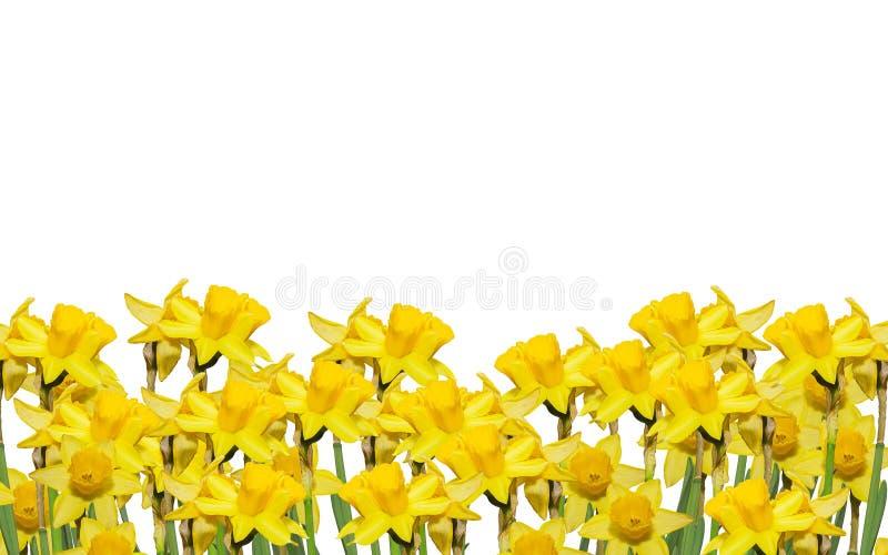 Os narciso amarelos florescem, fecham-se acima, o fundo branco Saiba como o narciso amarelo, daffadowndilly, narciso, e junquilho imagens de stock royalty free