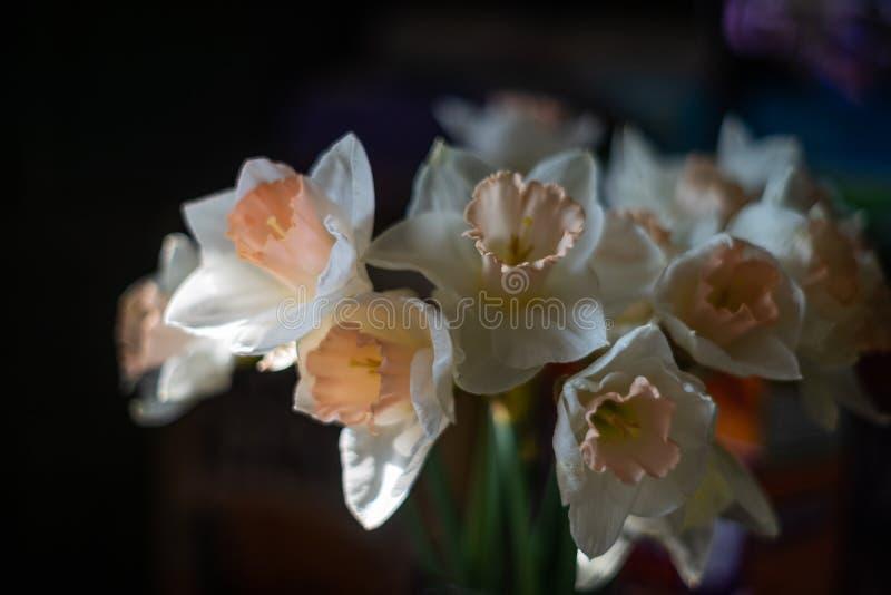 Os narciso brancos fecham-se acima do tiro na luz solar no fundo borrado escuro imagens de stock royalty free