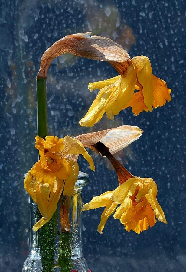 Os narcisos amarelos murchados, de morte no vaso de vidro claro contra a chuva mancharam a janela fotos de stock