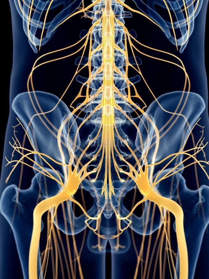 Os nervos ancas ilustração royalty free