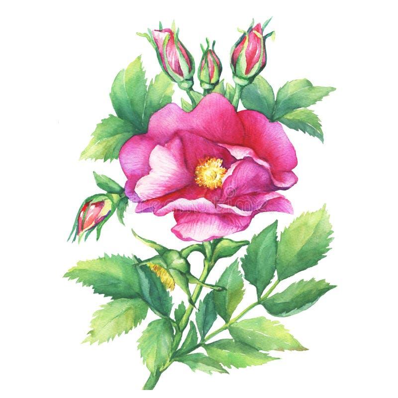 Os nomes de florescência da rosa do rosa do ramo: o cão aumentou, canina de rosa, japonês aumentou, rugosa de Rosa, briar doce, r ilustração royalty free