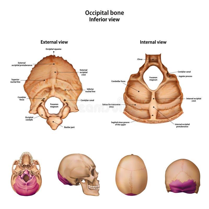 Os Occipital Avec le nom et la description de tous les sites illustration libre de droits
