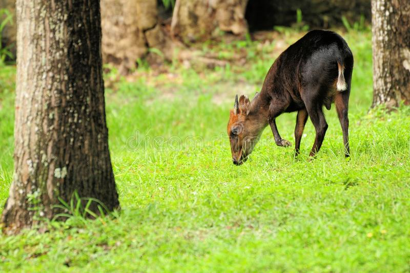 Okapi masculino novo que come a grama imagens de stock royalty free