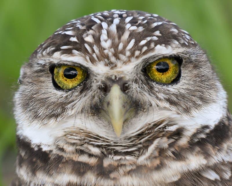 Os olhos bonitos de uma coruja Burrowing em Florida foto de stock