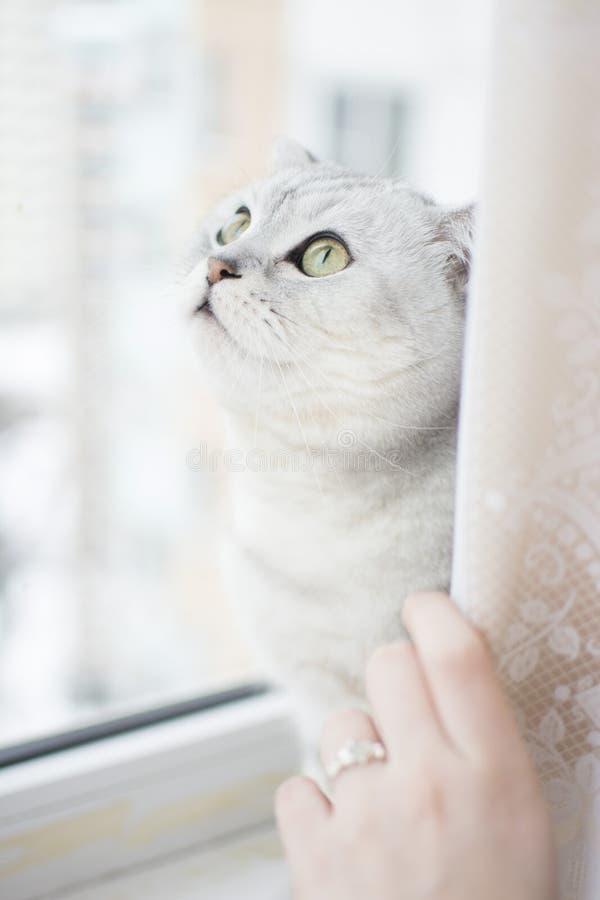 Os olhos de gato verdes enormes olham a janela fotos de stock royalty free