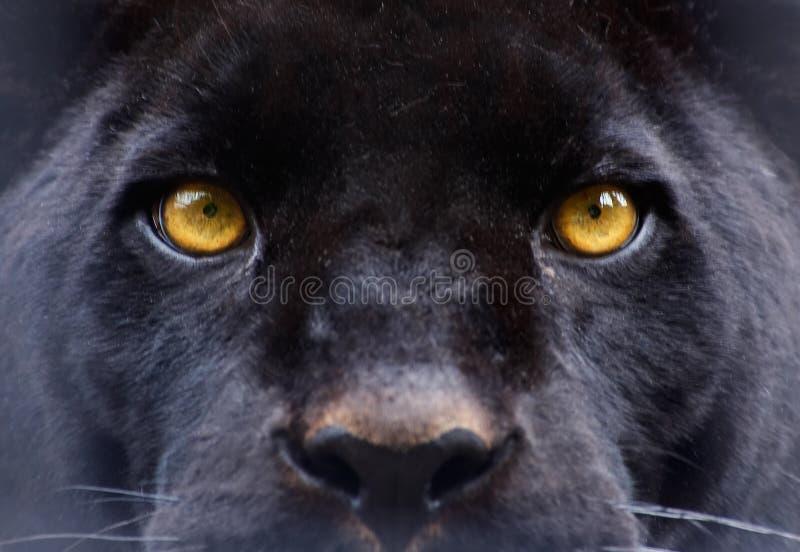 Os olhos de uma pantera preta imagens de stock royalty free