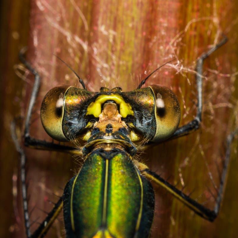 Os olhos grandes de um macro esmeralda do close-up do damselfly imagem de stock