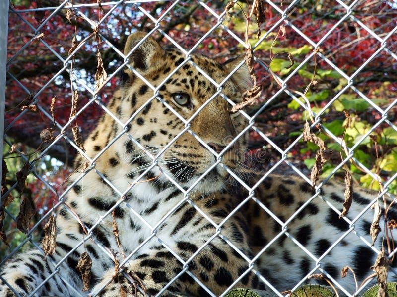 Os orientalis do pardus do Panthera do leopardo de Amur ou o Der Amurleopard, Abenteurland Walter Zoo fotografia de stock royalty free