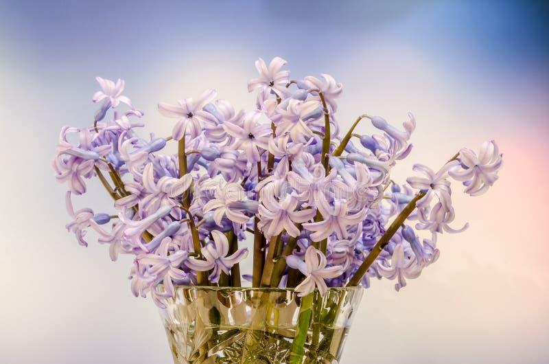 Os orientalis malva de Hyacinthus florescem (jacinto comum, jacinto do jardim ou jacinto holandês) em um vaso transparente, fim a foto de stock royalty free