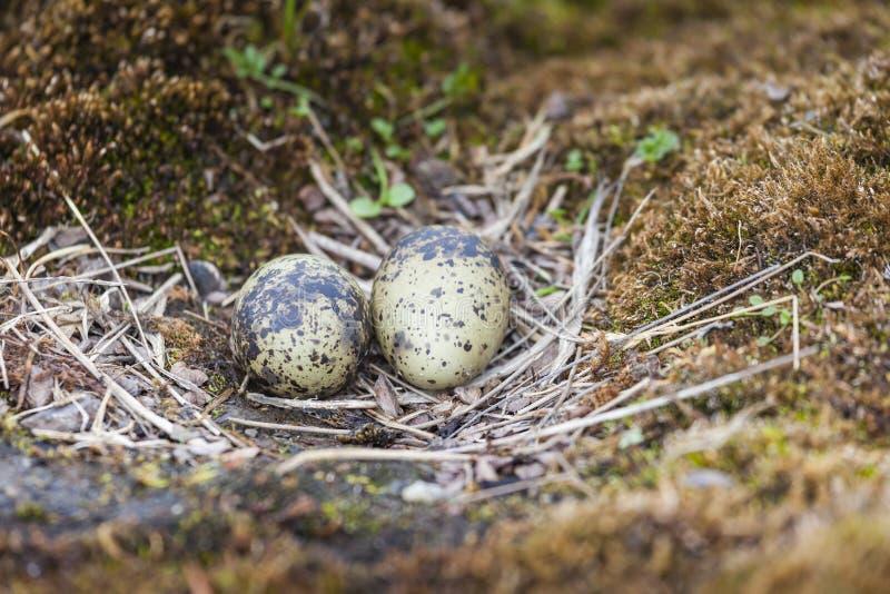 Os ovos da andorinha-do-mar ártica na pedra fotografia de stock royalty free