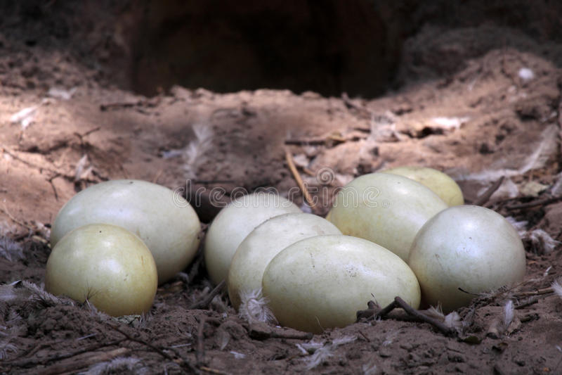 Os ovos da avestruz fotografia de stock royalty free
