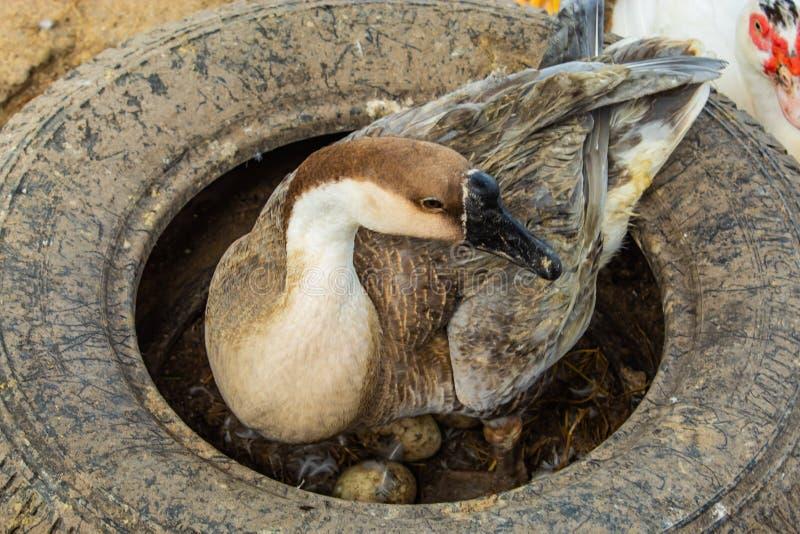 Os ovos de ganso da mãe são chocados no pneu fotos de stock