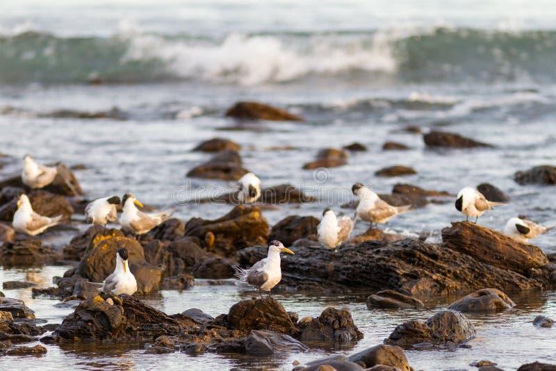 Os pássaros brancos em rochas em Myponga encalham no Sul da Austrália Austral fotografia de stock royalty free