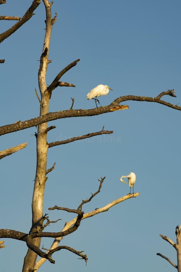 Os pássaros da garça-real de Great White preparam Themselves na árvore estéril fotografia de stock royalty free