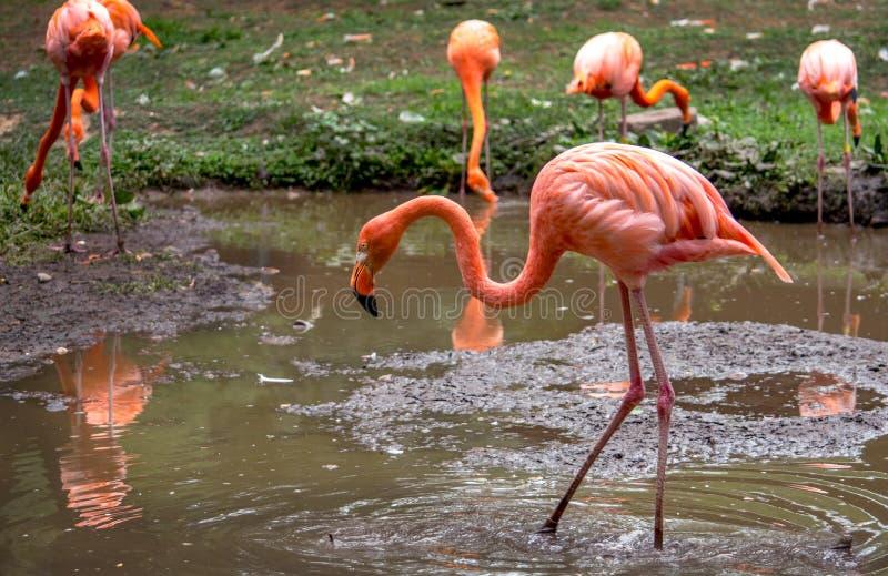 Os pássaros de água exóticos chamaram o flamingo fotografia de stock royalty free