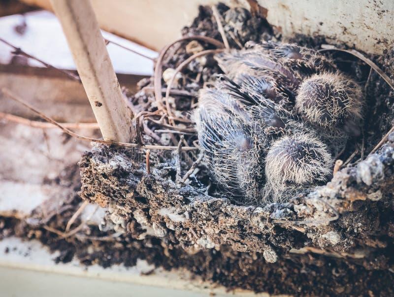 Os pássaros de bebê recém-nascidos na palha aninham-se, construído no telhado foto de stock