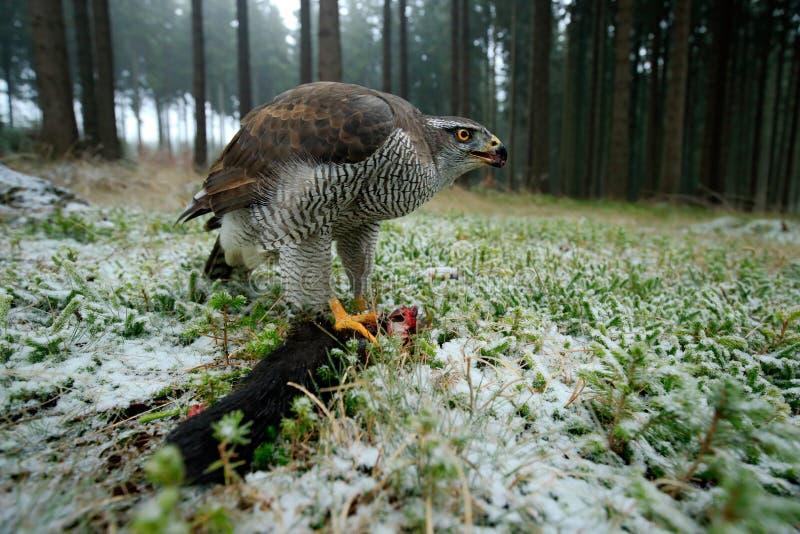 Os pássaros do Goshawk da rapina com matança travam o esquilo vermelho na floresta com neve do inverno - foto com a lente larga d foto de stock royalty free