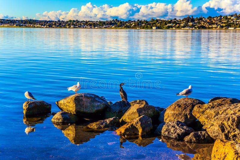 Os pássaros do lago sentam-se nas pedras litorais fotos de stock