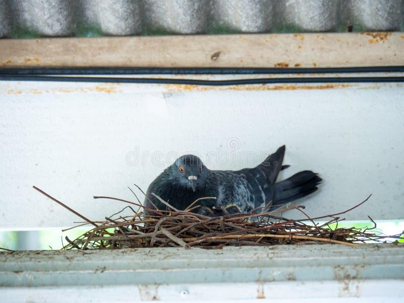 Os pássaros do pombo estão sentando-se em um ninho do pássaro foto de stock