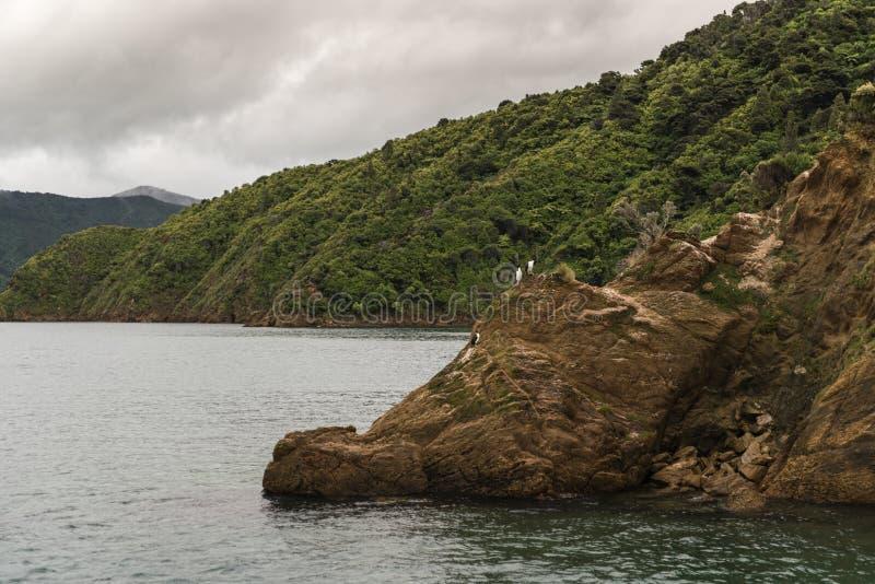 Os pássaros do rei Shag Cormorant na rocha em Okahu latem fotografia de stock
