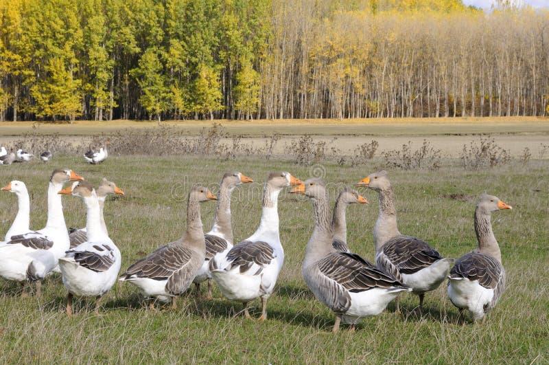 Os pássaros domésticos aproximam a floresta foto de stock royalty free