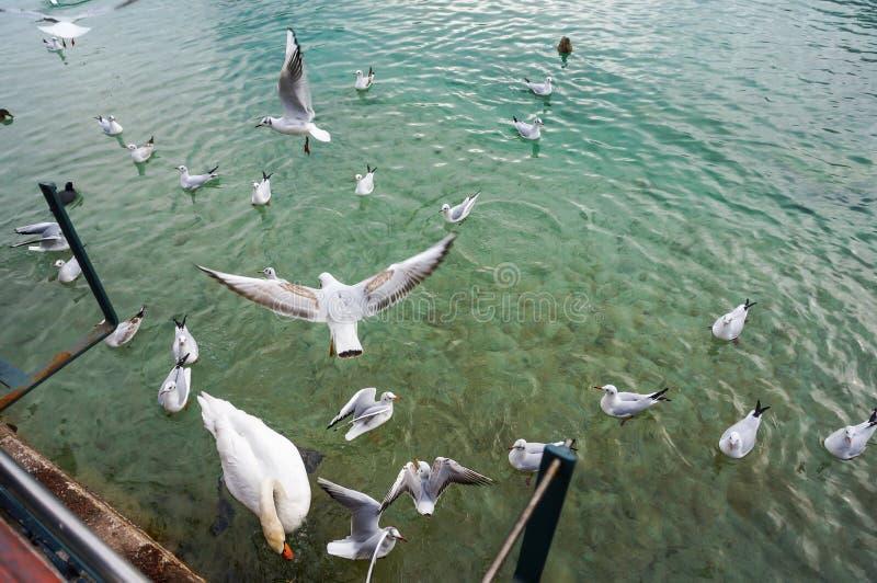 Os pássaros e as cisnes brancos voam na alimentação do lago imagem de stock royalty free