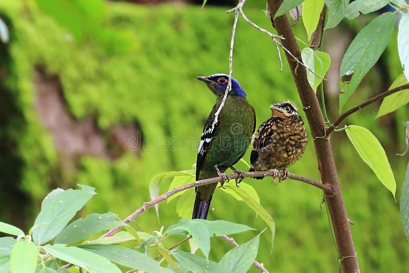 Os pássaros masculinos e os pássaros novos estão descansando nos ramos imagens de stock