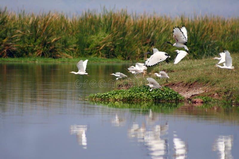 Os pássaros na cratera de Ngorongoro fotos de stock