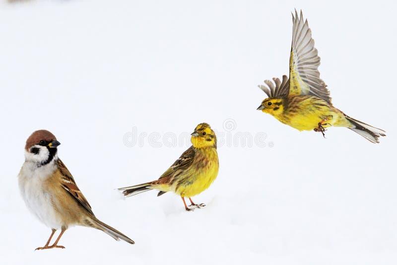 Os pássaros no inverno estão na neve imagem de stock royalty free