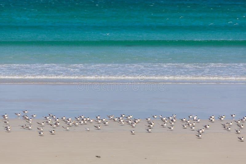 Os pássaros que empoleiram-se na areia branca do oceano de Bridgewater do cabo encalham, Austrália fotografia de stock