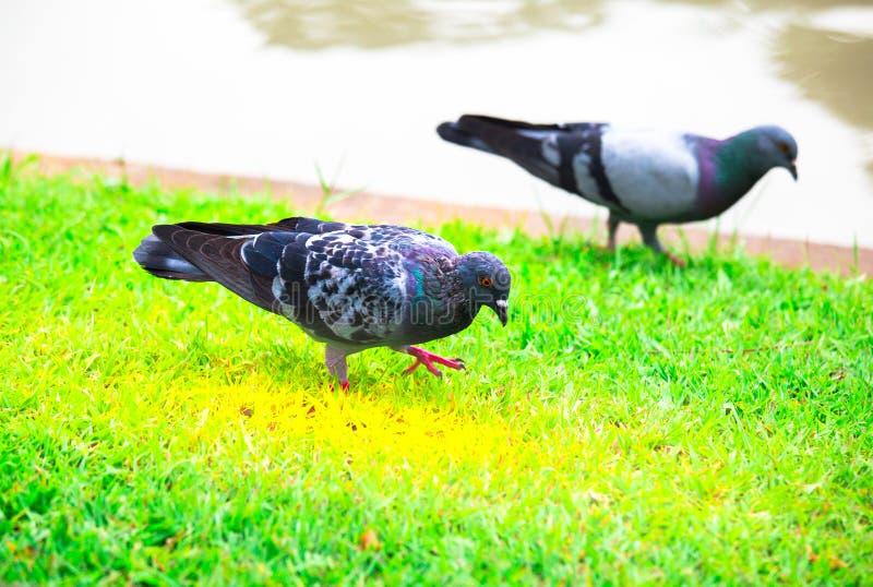 Os pássaros são procuram o alimento na grama fotos de stock royalty free
