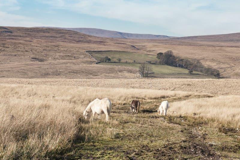 Os pôneis selvagens em Brecon iluminam o parque nacional em Gales, Reino Unido imagem de stock