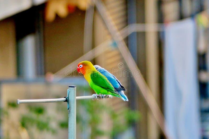 Os papagaios brilhantes bonitos sentam alto na antena foto de stock