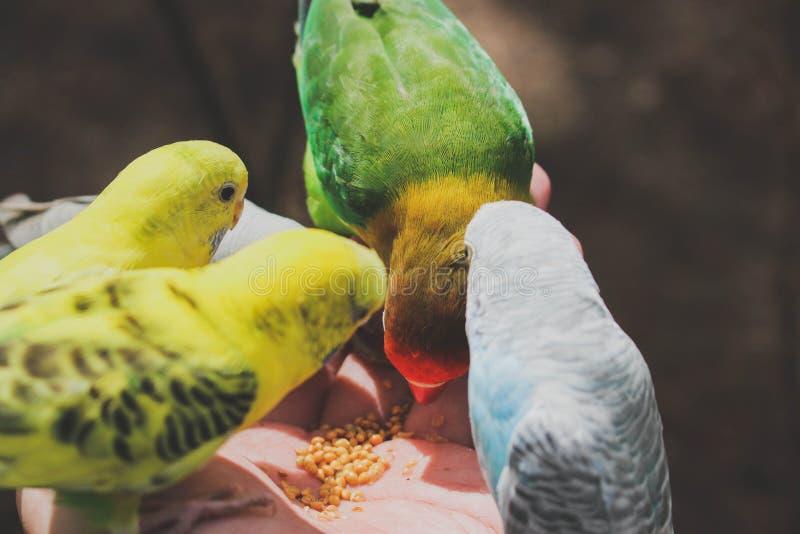 Os papagaios coloridos estão comendo nas mãos no jardim zoológico imagem de stock royalty free
