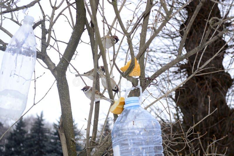 Os pardais no inverno comem dos alimentadores fotografia de stock