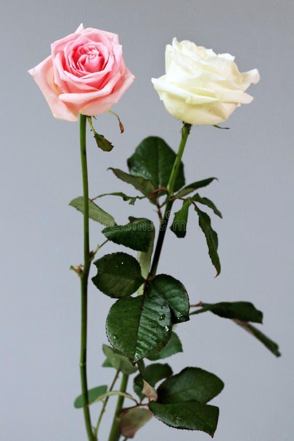 Os pares cor-de-rosa brancos das rosas isolaram o fundo profundo do cartão do amor foto de stock royalty free