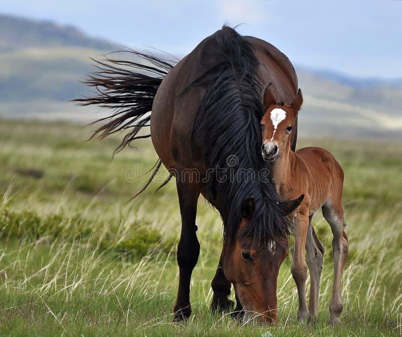 Os pares de cavalos estão pastando em estepes ilimitados de Cazaquistão imagens de stock royalty free