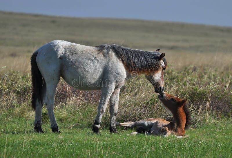 Os pares de cavalos estão pastando em estepes ilimitados de Cazaquistão fotos de stock royalty free