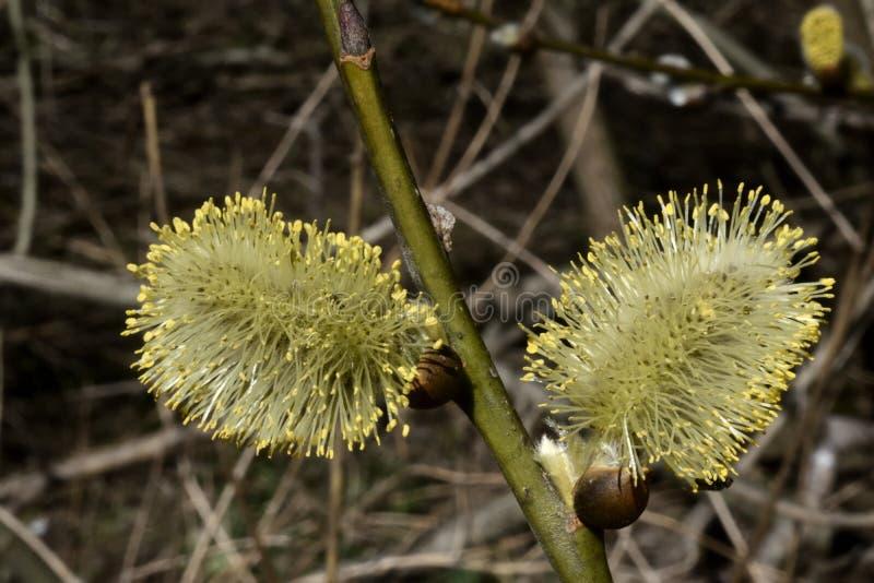 Os pares de flores brancas e amarelas bonitas da árvore imagens de stock