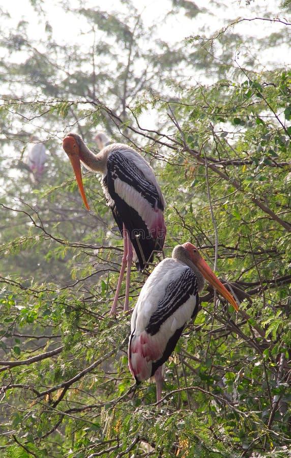 Os pares de marabu empoleiraram-se na parte superior de uma árvore fotos de stock