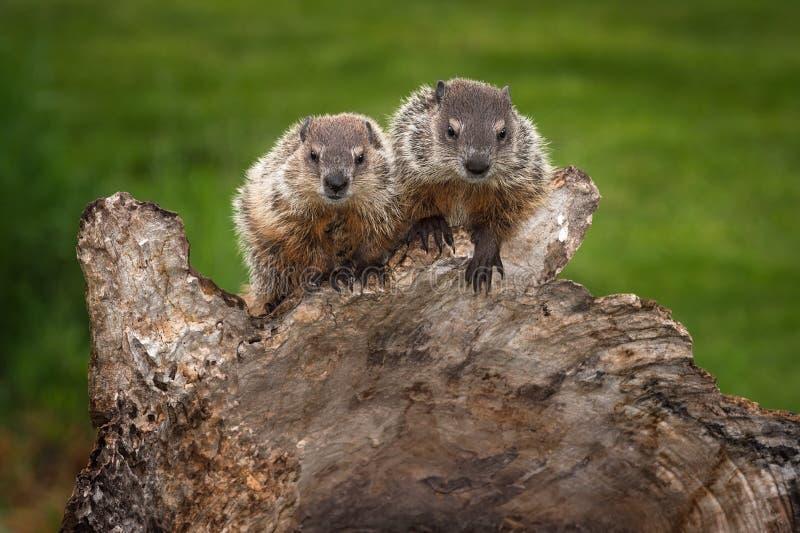 Os pares de monax novo do Marmota das marmotas olham para fora fotografia de stock royalty free