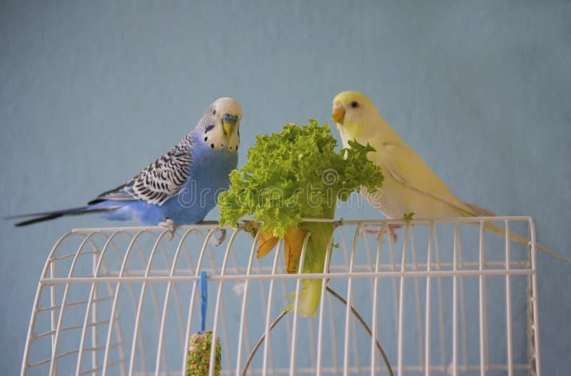 Os pares de papagaios ondulados comem a salada verde imagens de stock royalty free