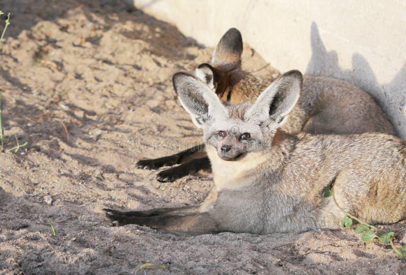 Os pares de raposas grande-orelhudas que sentam-se no por do sol iluminam-se fotos de stock