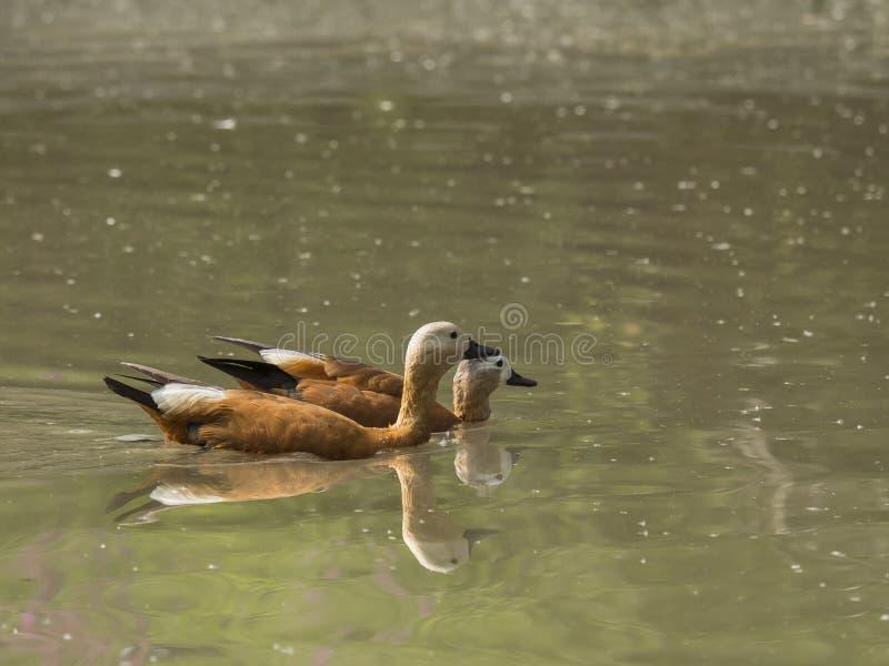 Os pares de Ruddy Shelduck nadam o silêncio em uma lagoa fotografia de stock